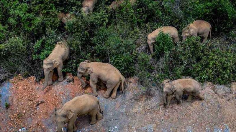 فیل های سرگردان
